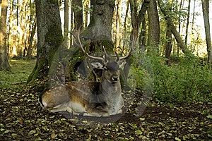 Fallow Deer (Dama Dama) Royalty Free Stock Photo - Image: 16597185