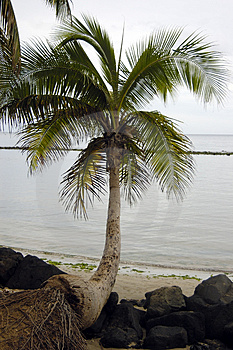 Cocunut Tree On A  Beach Royalty Free Stock Image - Image: 1663466