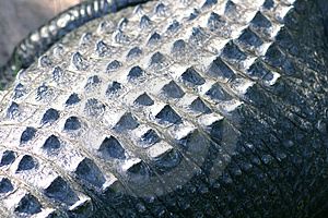 Crocodile Skin Close Up Stock Image - Image: 1663871