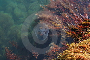 Medusa With Algae Royalty Free Stock Photos - Image: 1669928