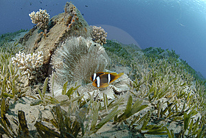 Red Sea Anemonefish Royalty Free Stock Images - Image: 16601699