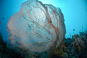 Giant Sea Fan Royalty Free Stock Photo - Image: 16601935
