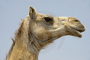 Camel Face Royalty Free Stock Images - Image: 16614759