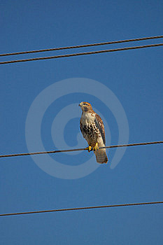 Red Tailed Hawk On Wire Royalty Free Stock Image - Image: 16616206