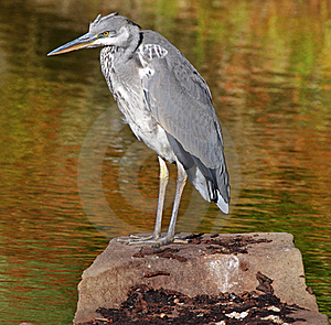 Grey Heron Perched On A Rock Stock Photography - Image: 16630472