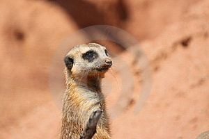 Suricate Mongoose Stock Images - Image: 16636064