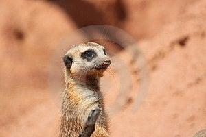 Suricate Mongoose Stock Images - Image: 16636064