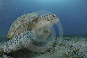 Green Sea Turtle Swimming Over Seagrass Bed. Royalty Free Stock Photography - Image: 16636977
