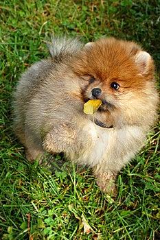 Funny Spitz Puppy Holding Autumn Leaf Stock Photos - Image: 16638073