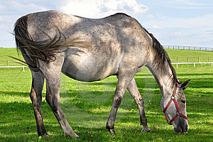 Roan Horse At Grazing Royalty Free Stock Image - Image: 16640896