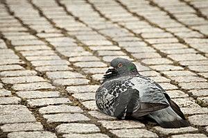 Single Pigeon Sitting Calmly On Cobble Stone Walk Royalty Free Stock Photo - Image: 16641055