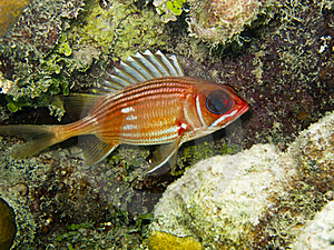 Squirrelfish De Longspine (rufus De Holocentrus) Photos stock - Image: 16643063