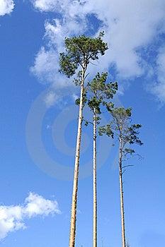 Majestic Pine Trees On Blue Sky Background Stock Photography - Image: 16646712