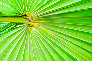 Texture Of Green Palm Leaf Background Royalty Free Stock Photos - Image: 16655548