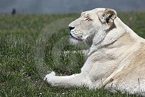 Lioness Stock Image - Image: 16656971