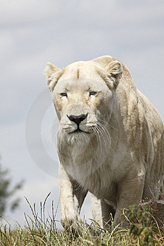 Lioness Hunts Stock Photos - Image: 16657243