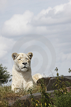 Lioness Stock Images - Image: 16657354