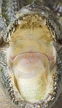 Crocodile Jaw Stock Photos - Image: 16671803