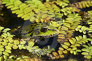 Green Frog In Swamp Royalty Free Stock Photo - Image: 16672575