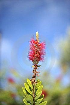 Bottlebrush Flowers Royalty Free Stock Image - Image: 16673736