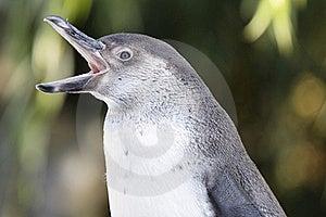 Penguin Stock Photo - Image: 16676880