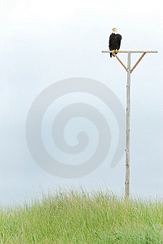 Bald Eagle Perched Royalty Free Stock Images - Image: 16679289