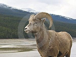 Bighorn Sheep (Ovis Canadensis) Stock Photos - Image: 16688113