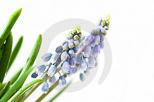 Blue Muscari Royalty Free Stock Photography - Image: 16690377