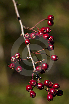 Hawthorn Stock Photography - Image: 16695612