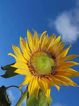 Sunflower Under Sky Royalty Free Stock Image - Image: 1675656