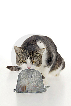 Cat Scrutinize Hunted Mouse. Royalty Free Stock Image - Image: 16702626