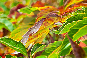 Foliage Of Virginia Creeper Royalty Free Stock Images - Image: 16706679
