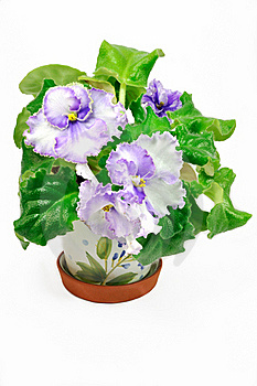 Pot With Wight And Violet Violets Stock Photos - Image: 16706883