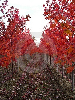 Rows Of Red Trees Royalty Free Stock Photo - Image: 16708505