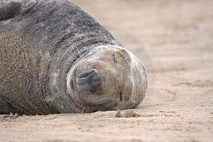 Basking Grey Seal Stock Photography - Image: 16708892