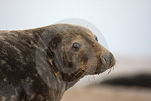 Bull Grey Seal Royalty Free Stock Photos - Image: 16708908