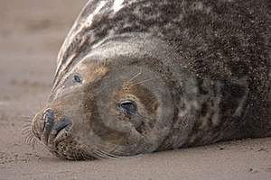 Bull Grey Seal Stock Photo - Image: 16708930