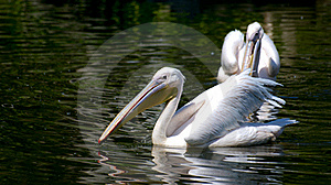 White Pelicans Stock Images - Image: 16709014