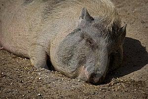 Sleeping Pig Stock Image - Image: 16709031