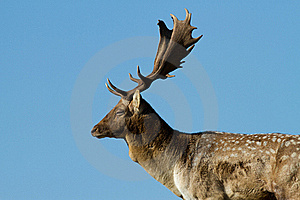Male Fallow Deer Stock Photography - Image: 16709372