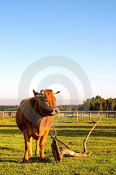 Cow Royalty Free Stock Images - Image: 16710959