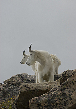Mountain Goats Profile Royalty Free Stock Image - Image: 16712496