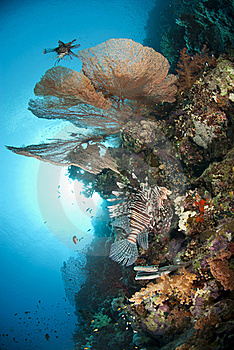 Giant Sea Fan With Common Lionfish. Royalty Free Stock Photo - Image: 16719245