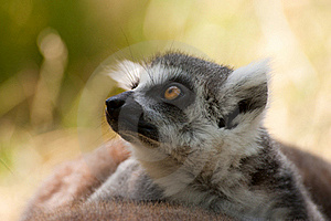 Ring-tailed Lemur Royalty Free Stock Photography - Image: 16720887