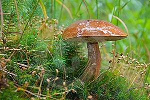 Large Ripe Boletus Mushroom Stock Images - Image: 16740664