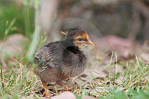 Cute Baby Chicken Stock Image - Image: 16740861