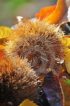Chestnut Husk Royalty Free Stock Photos - Image: 16740918