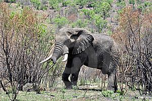 African Elephant. Royalty Free Stock Images - Image: 16742029