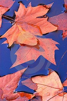 Maple Leaf Royalty Free Stock Photo - Image: 16745295