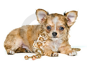 Puppy Of The Chihuahua With A Necklace Stock Photos - Image: 16747443
